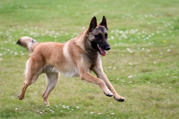 Tie, kas niekada nėra susidūrę su Malinua Belgų aviganiais, puola teisti ir kaltinti Komskį, kodėl nukreipė ginklą į šunį